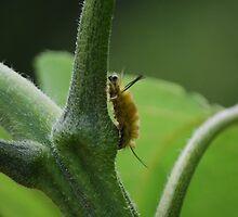 Caterpillar on Tomato Plant by Diane Blastorah