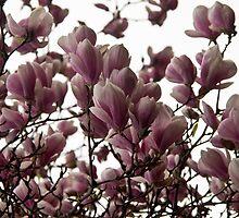 Magnolias by thamuria