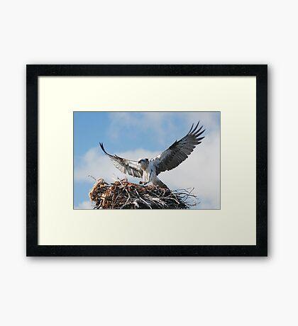 Returning to the nest - Osprey Framed Print