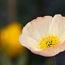 Summer Poppy by Josie Eldred