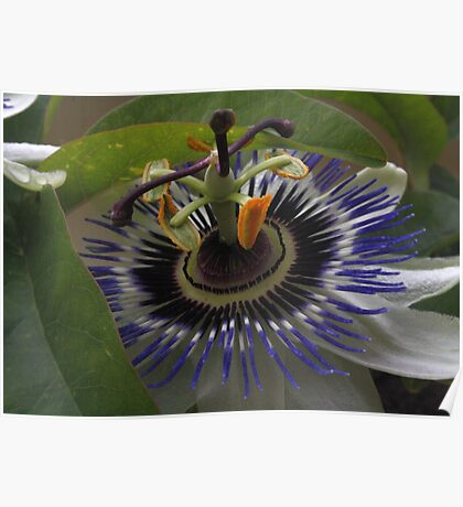 Front View of Beautiful Passiflora Flower Poster