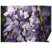 Close Up Of Lavender Wisteria Blossom Poster