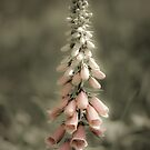 Foxglove by imagejournal