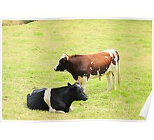 Two Bulls in a Pasture Poster