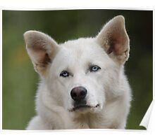 Working Dog Portrait Poster