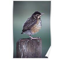Baby Robin Portrait Poster