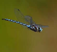 Dragonfly in Flight by William C. Gladish, World Design