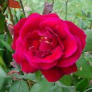 Just a BIG RED ROSE by scholara