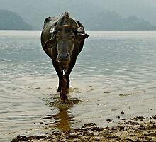 Water Buffalo by Valerie Rosen
