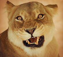 angry lioness by roger smith