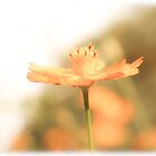 A daisy a day, let the sunshine stay...  by Qnita