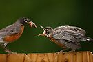 Robin Getting Fed by William C. Gladish