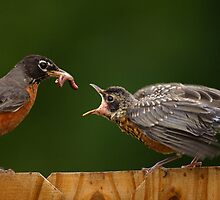 Robin Getting Fed by William C. Gladish, World Design