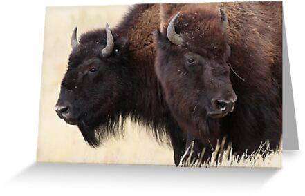 Bison Friendship by William C. Gladish