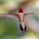 Broad-tailed Hummingbird in Flight by WorldDesign