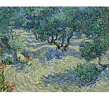 Vincent Van Gogh - Olive Orchard Photographic Print