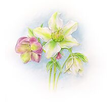 First signs of spring hellebores watercolor Photographic Print