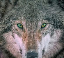 Gray Wolf head shot portrait by Rick Mousseau