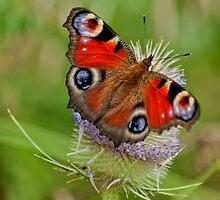 Butterfly by krzysztofdac