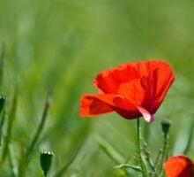 Red Poppy Sticker