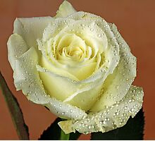 A wet White rose Photographic Print