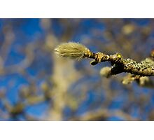 Furry spring bud Photographic Print