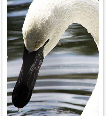 Trumpeter Swan Sticker