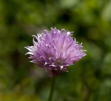 Chives Wild Flower by Sue Robinson