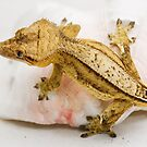 CRESTED GECKO - FINN by CRYROLFE