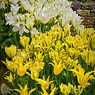 Tulips by Colin Metcalf
