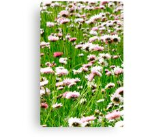 Everlasting Daisies Canvas Print