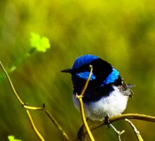 Blue Fairy Wren Sticker
