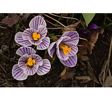 Purple Stripes and Golden Hearts - Crocus Harbingers of Spring Photographic Print