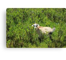 Kid Goat in Brush Canvas Print