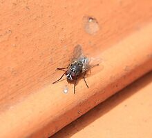 Black Fly on a Roof by rhamm