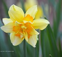 Narcissus Tahiti | Center Moriches, New York by © Sophie W. Smith