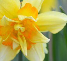 Narcissus Tahiti | Center Moriches, New York Sticker