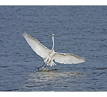 Great White Egret in The Gambia Photographic Print