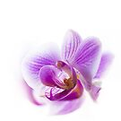 Orchid by flashcompact