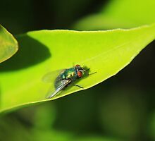 House Fly on a Leaf by rhamm