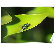 House Fly on a Leaf Poster