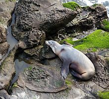 La Jolla Seal by CarolM