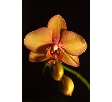 Phalaenopsis Orchid Flower Photographic Print