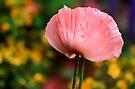 Gorgeous Pink Poppy  by LudaNayvelt