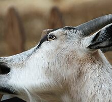 Goats Eat Anything, and I'm a Goat! by Heather Friedman