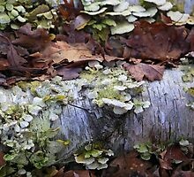 Fallen Birch with Green Fungi 3 by marybedy