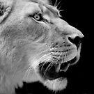Lioness II by Josie Eldred