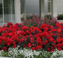 Colour Me Scarlet - Beautiful Begonias and Penstemon Sticker