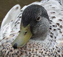Wild Duck by shellandshilo