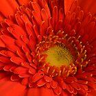 Red Gerbera by Sandra Chung